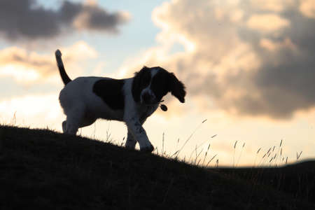 an english springer spaniel at sunset photo