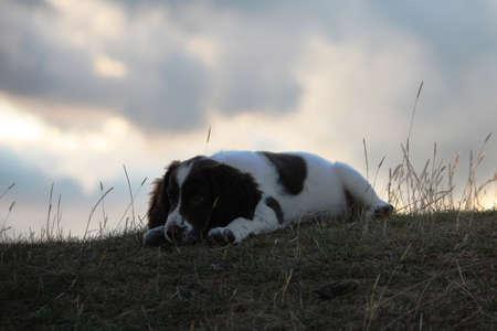 puppydog: an English Springer Spaniel lying on a hill