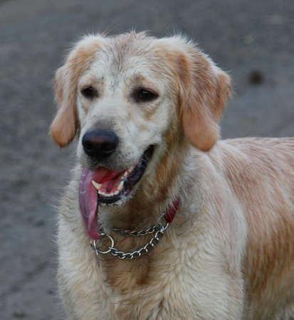 puppydog: Golden Retriever