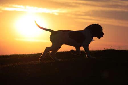 an English Springer Spaniel at sunset