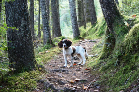 Working English Springer Spaniel stood on a woodland path Stock Photo
