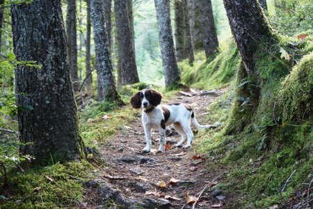 Working English Springer Spaniel stood on a woodland path Stock Photo