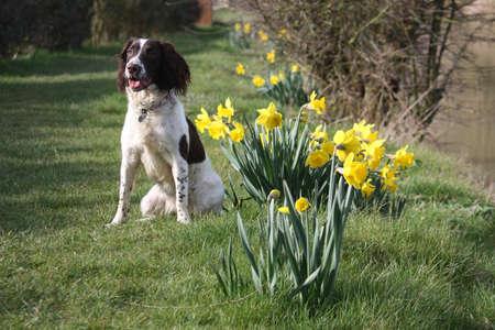 puppydog: Working English Springer Spaniel lying by some daffodils