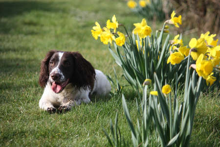 springer: Working English Springer Spaniel lying by some daffodils