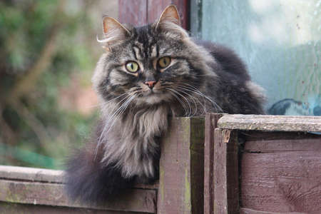 Very cute long-haired tabby cat photo
