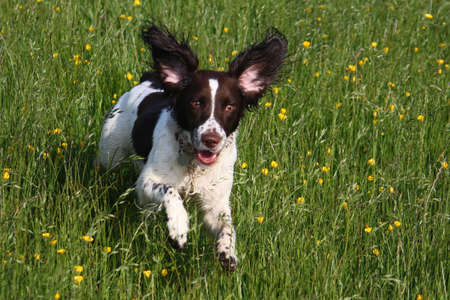 A running working english springer spaniel Stock Photo