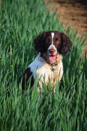 Working English Springer Spaniel sitting in a field
