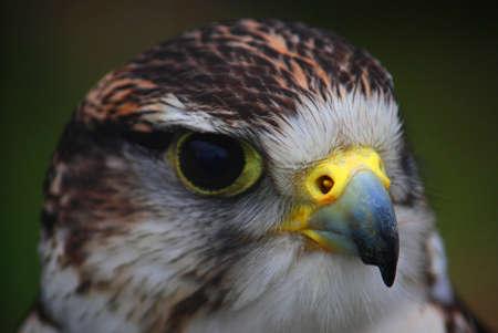 raptor: Raptor (Hawk - Bird of prey)