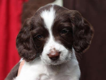Working English Springer Spaniel puppy