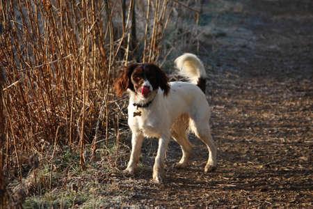 puppydog: working english springer spaniel standing