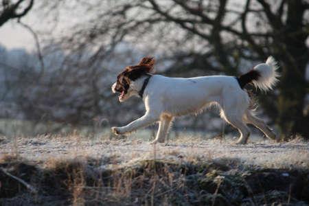Working English Springer Spaniel running Stock Photo