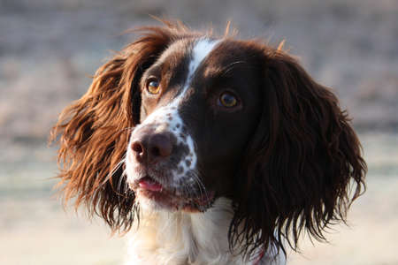 Inquisitive Working English Springer Spaniel Stock Photo