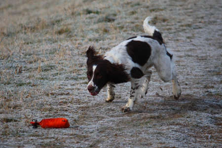 ess: Working English Springer Spaniel retrieving a dummy