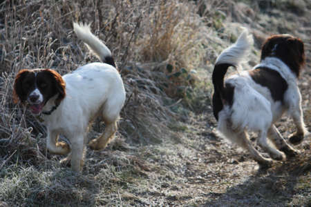 ess: Working English Springer Spaniels together Stock Photo