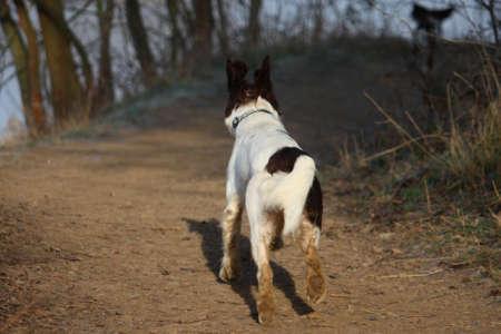 Working English Springer Spaniel running away
