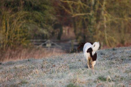 ess: Working English Springer Spaniel running home