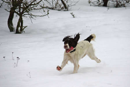 ess: Working English Springer Spaniel enjoying the snow