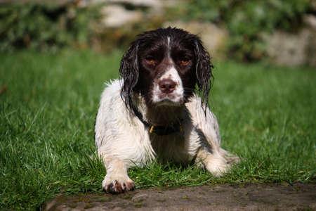 puppydog: A working type english springer spaniel lying down