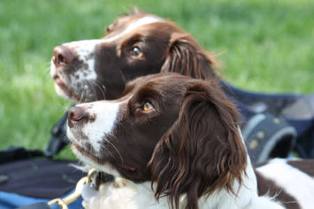 Two working type springer spaniels