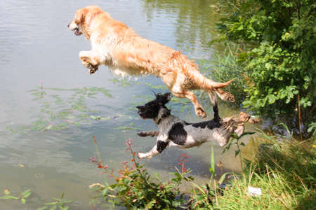 A wet golden retriever and springer spaniel jumping into water