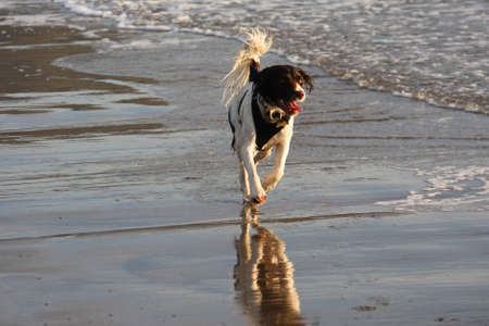 working type english springer spaniels on the beach photo