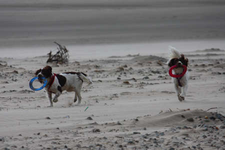 working type english springer spaniels on the beach Stock Photo - 15355061