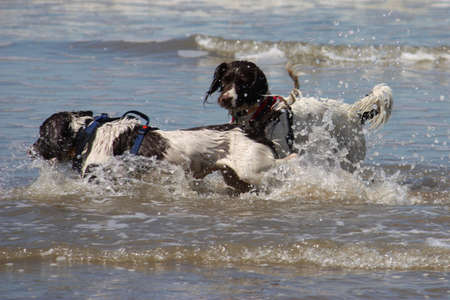 Two working type springer spaniels playing frisbee in a calm sea Stock Photo - 15413945