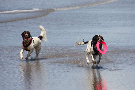 Two working type springer spaniels playing frisbee in a calm sea Stock Photo - 15413948