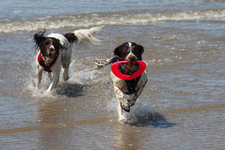 Two working type springer spaniels playing frisbee in a calm sea