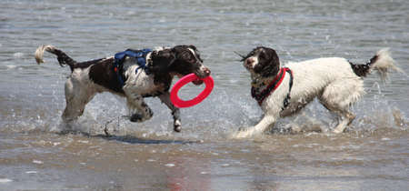 Two working type springer spaniels playing frisbee in a calm sea photo