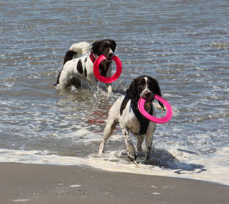 Two working type springer spaniels playing frisbee in a calm sea Stock Photo - 15413946