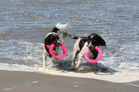Two working type springer spaniels playing frisbee in a calm sea Stock Photo - 15413963