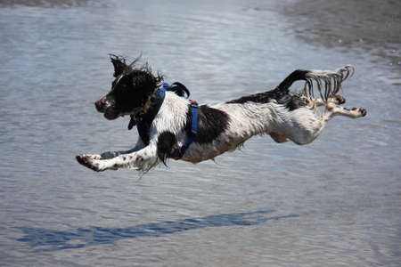 a working type english springer spaniel jumping over water on a beach Stock Photo - 15413956