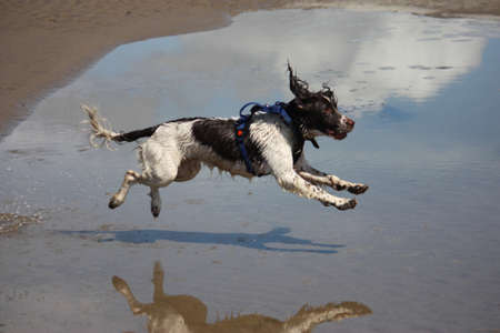 a working type english springer spaniel jumping over water on a beach photo