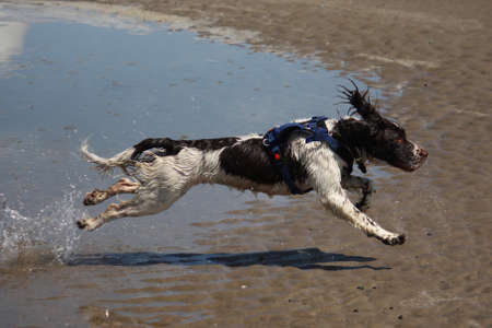 a working type english springer spaniel jumping through water on a beach Stock Photo - 15413952