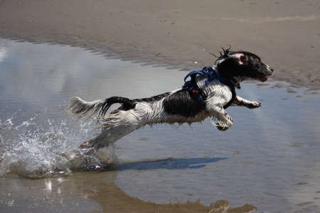 a working type english springer spaniel jumping through water on a beach photo