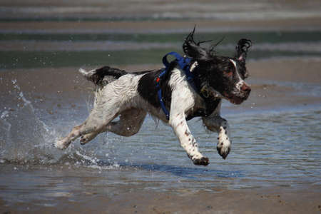 a working type english springer spaniel jumping through water on a beach Stock Photo - 15413962