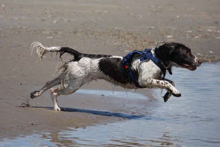 a working type english springer spaniel jumping through water on a beach Stock Photo - 15413951