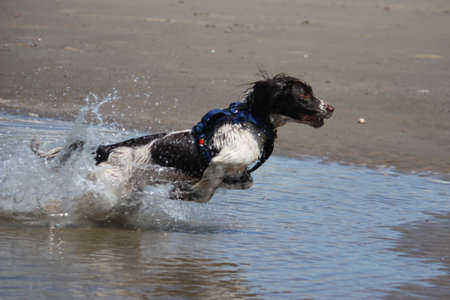 a working type english springer spaniel jumping through water on a beach Stock Photo - 15413950