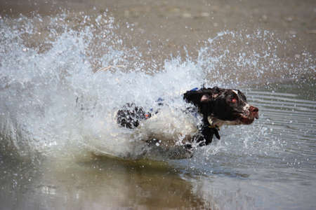 a working type english springer spaniel jumping through water on a beach Stock Photo - 15413960