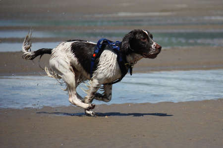 a working type english springer spaniel running along a beach Stock Photo - 15413944