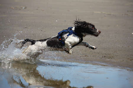a working type english springer spaniel jumping through water on a beach Stock Photo - 15413959