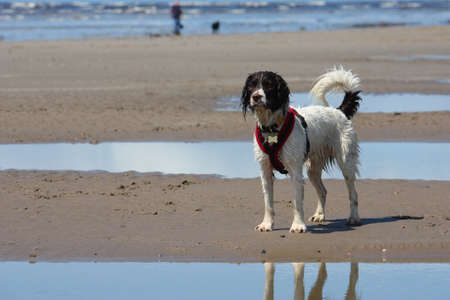 Working type english springer spaniel dog on the beach Stock Photo - 15413958
