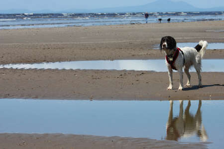 Working type english springer spaniel dog on the beach with reflection photo