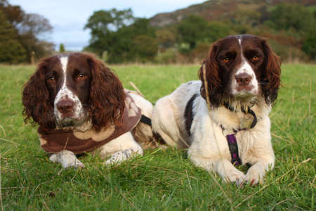 Working type english springer spaniels lying on grass together Stock Photo
