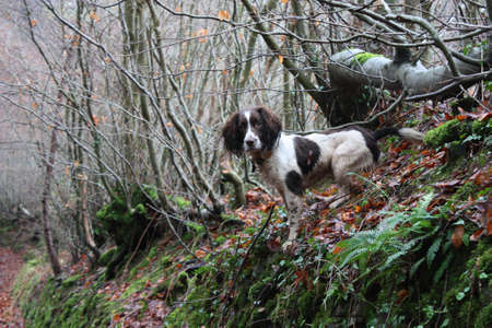 working type english springer spaniel ready for action