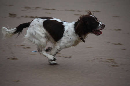 A working type english springer spaniel running on a beach photo
