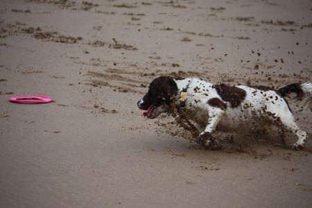 puppydog: A working type english springer spaniel running on a beach