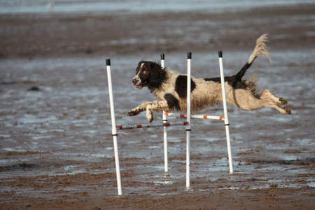 working type english springer spaniel jumping on a beach photo