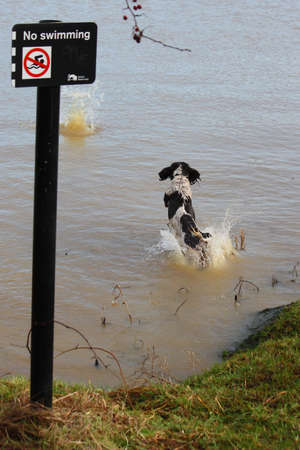 puppydog: Dog jumping into water by a no swimming sign